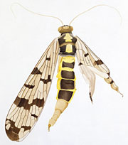 insect-scorpionfly